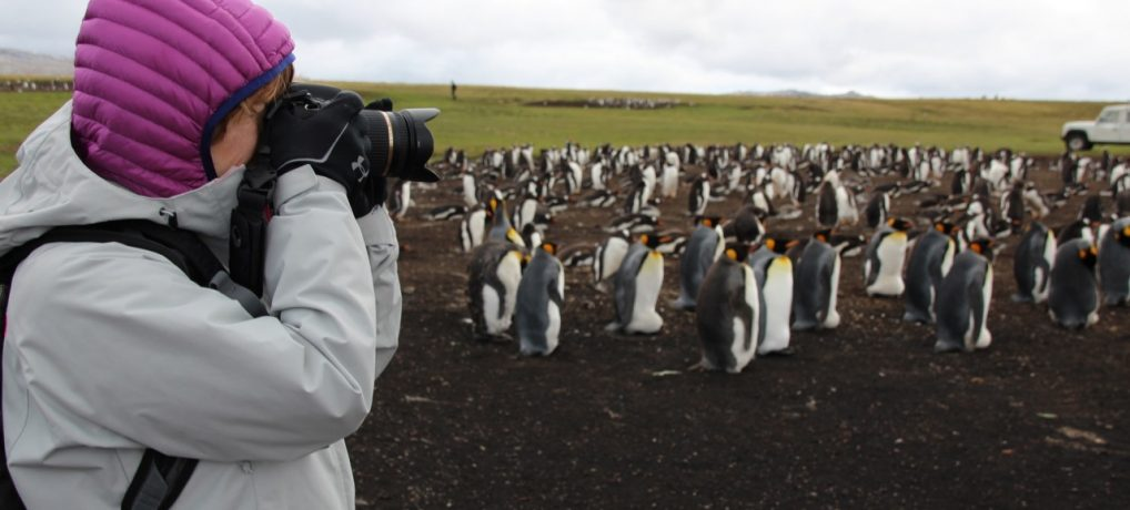 Falkland Islands – King Penguins